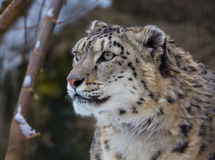 Snow leopard, irbis Stock Images
