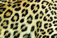 Snow Leopard Irbis skin texture Stock Photos