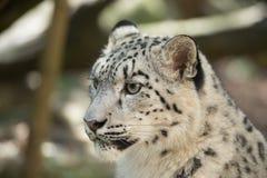 Snow leopard, Irbis Uncia uncia Stock Image