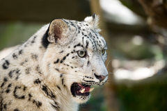 Snow leopard, Irbis Uncia uncia Stock Photos