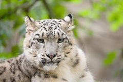Snow leopard, Irbis Uncia uncia Royalty Free Stock Photography