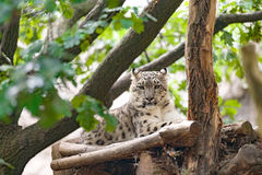 Snow leopard, Irbis Uncia uncia. Side portrait of big famous cat, snow leopard - Irbis, Uncia uncia Royalty Free Stock Images