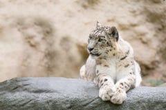Snow leopard, Irbis Uncia uncia Stock Photography