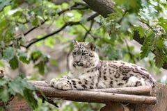 Snow leopard, Irbis Uncia uncia. Side portrait of big famous cat, snow leopard - Irbis, Uncia uncia Stock Images