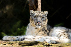 Snow leopard, Irbis Uncia uncia. Side portrait of snow leopard - Irbis, Uncia uncia with shallow focus Stock Photo