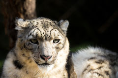 Snow leopard, Irbis Uncia uncia Royalty Free Stock Images