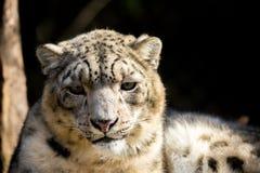 Snow leopard, Irbis Uncia uncia Stock Photos