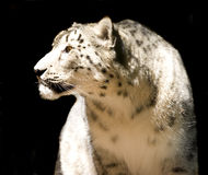 Snow leopard - isolated Stock Photography