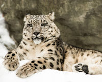 Snow Leopard IV Royalty Free Stock Image