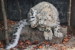 Snow leopard juvenile. The scratching snow leopard juvenile sitting on the stone Stock Image
