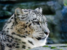 Snow Leopard. A Snow Leopard keeps watch from a perch Stock Images