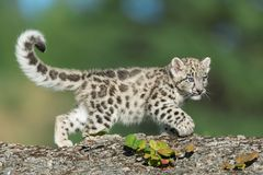 Snow Leopard Kitten Stock Image