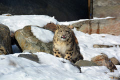 The snow leopard Stock Images