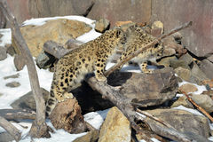 The snow leopard Royalty Free Stock Photos