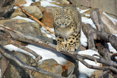 The snow leopard. Is a large cat native to the mountain ranges of Central and South Asia. It is listed as endangered on the IUCN Red List of Threatened Species Stock Photo