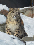 The snow leopard Stock Image