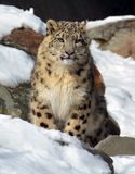 The snow leopard Royalty Free Stock Photo