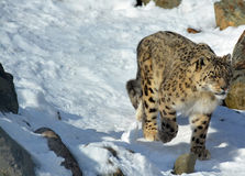 The snow leopard. Is a large cat native to the mountain ranges of Central and South Asia. It is listed as endangered on the IUCN Red List of Threatened Species Royalty Free Stock Photography