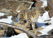 The snow leopard Royalty Free Stock Images