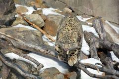 The snow leopard Stock Photos
