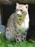 The snow leopard. Is a large cat native to the mountain ranges of Central and South Asia. It is listed as endangered on the IUCN Red List of Threatened Species Stock Images