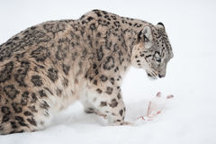 Snow leopard (lat. Uncia uncia). With his prey in the snow Stock Image