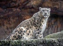 Snow leopard 9. Snow leopard. Latin name - Uncia uncia Stock Photos