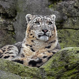 Snow Leopard 3 Stock Images