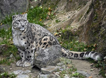 Snow Leopard 5 Royalty Free Stock Photography