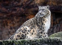 Snow leopard 9. Snow leopard. Latin name - Uncia uncia Royalty Free Stock Photography