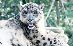 Snow Leopard Laying Royalty Free Stock Photography
