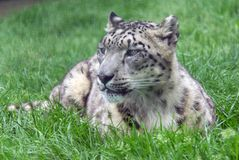 Snow Leopard Laying down. Snow Leopard Laying down in Grass Royalty Free Stock Images