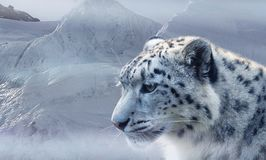 Snow Leopard, Leopard, Snow, Ice Stock Photos
