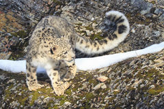 Snow leopard with long tail. On rocky ridge Royalty Free Stock Image