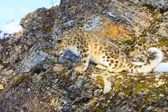 Snow leopard looking down mountain ledge. Snow leopard looking down mountain rocky ledge Stock Photo