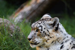 Snow leopard looking left Royalty Free Stock Image