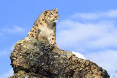 Snow leopard looking to his side. On rock Stock Photo