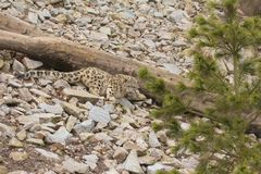 Lurking Snow Leopard Stock Photography