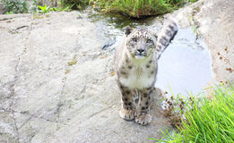 Snow leopard. A male snow leopard sitting on a rock Royalty Free Stock Photo