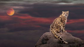 Snow leopard in moon light. Snow leopard portrait with moon Stock Photography