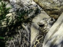 Snow Leopard Mother And Cub royalty free stock photo