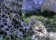 Snow Leopard Mother And Cub Royalty Free Stock Photography