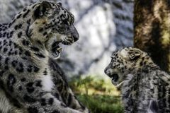 Snow Leopard Mother And Cub Royalty Free Stock Photos
