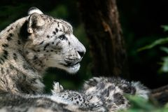 Free Snow Leopard Mother With Cub. Royalty Free Stock Photography - 126690457