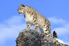 Snow Leopard on Mountain Ridge. Snow Leopard Standing on Mountain ridge Royalty Free Stock Images