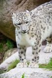 Snow Leopard in the mountain side Royalty Free Stock Photos