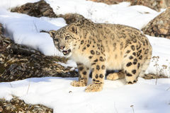 Snow leopard with mouth open Stock Photos