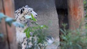 Snow Leopard no verão vídeos de arquivo