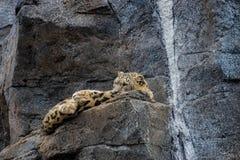 Snow Leopard odpoczywa? zdjęcie stock