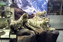 Snow leopard with offspring. stock photography